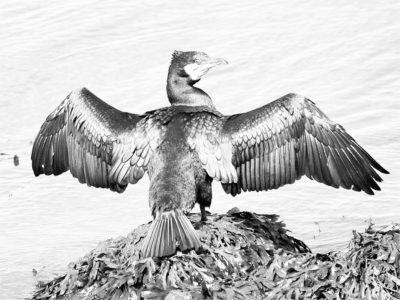 cormorant21
