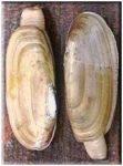 razor clams, Ninilchik