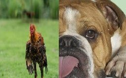 featured image bulldog coq