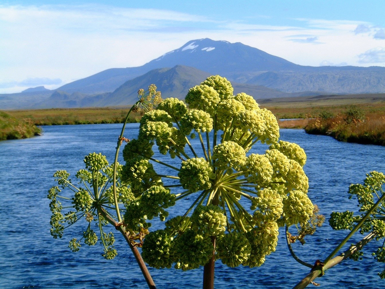 angelica-archangelica in Iceland (Mount Hekla in the background)
