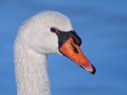 The Mute Swan can be recognised by the large bump at the top of the beak.  Source: All About Birds