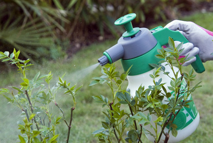Spraying a Rosa (rose) with pesticide (active ingredient, Thiacloprid).