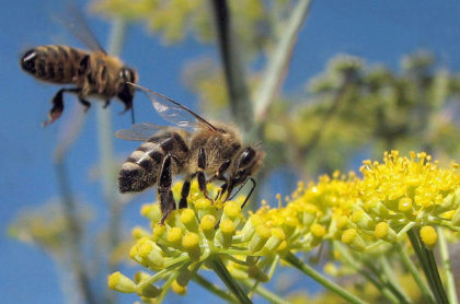 Three-quarters of the world's agricultural food crops require pollination, most of which is done by bees. Our world food supplies – and thus our security – depends on them.