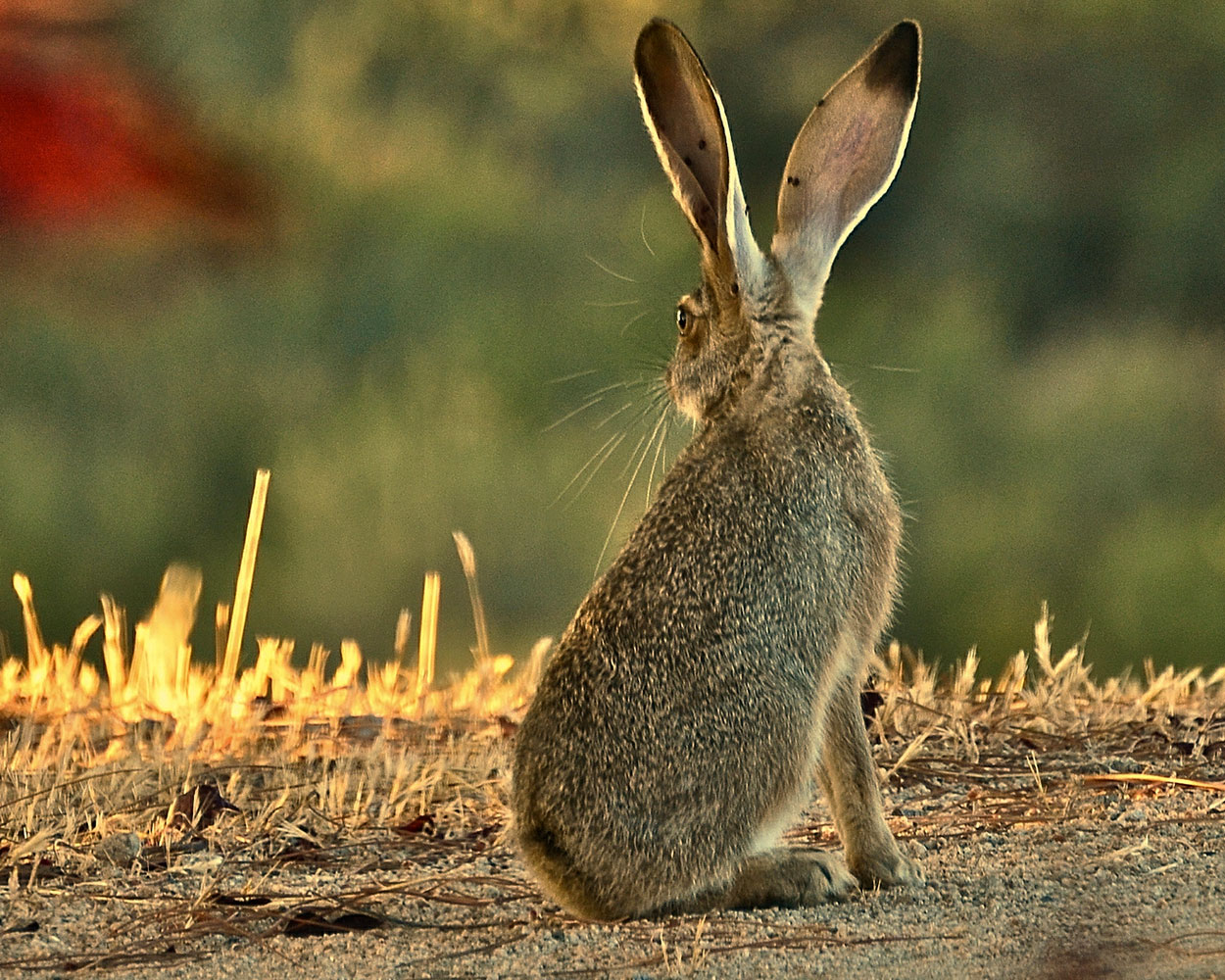 Hare_byLindaTanner