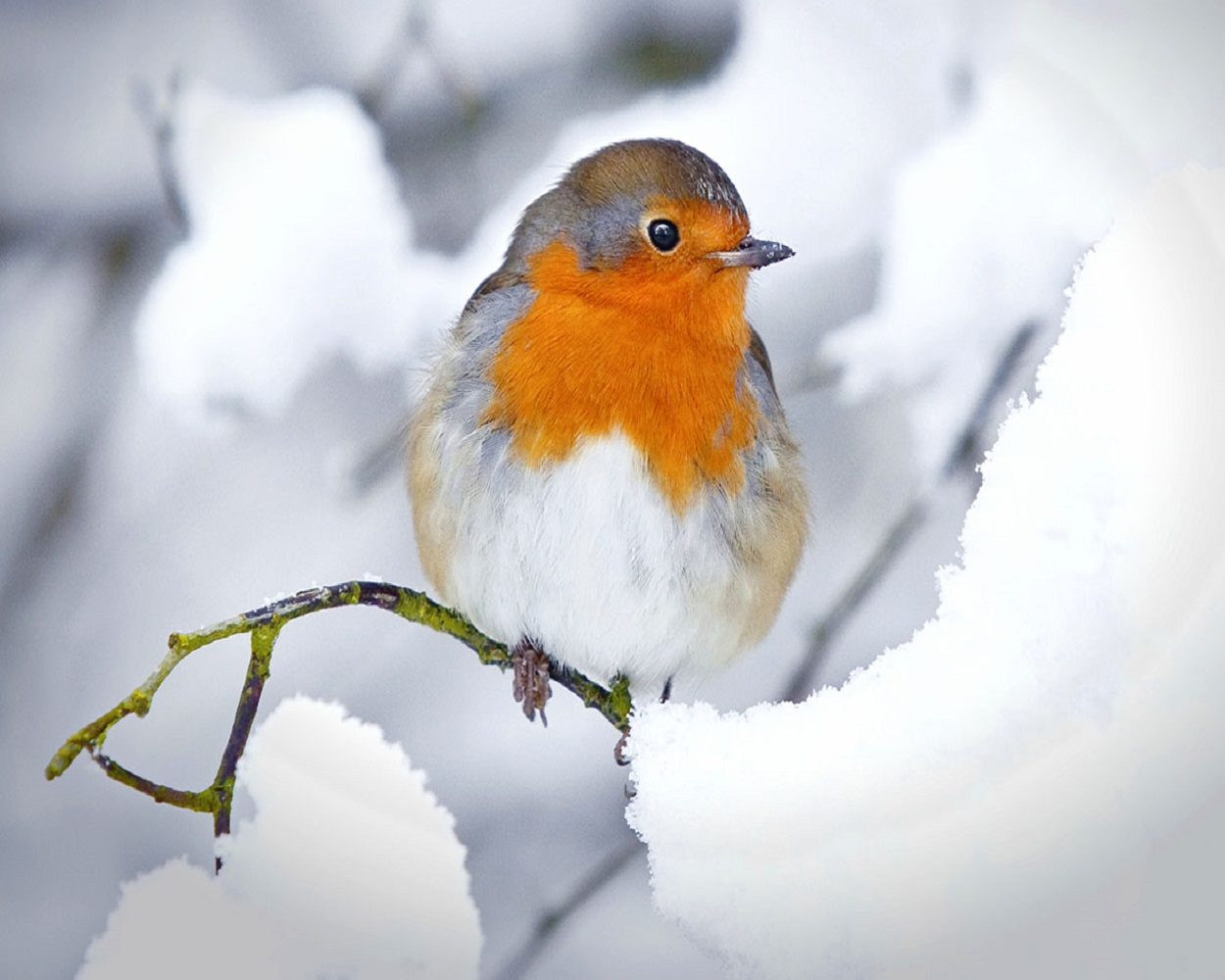 Robin in a winter snow scene