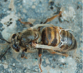 Deformed Wing Virus (DWV) on adult bee. Source: OPERA Research Center; Bee Health in Europe