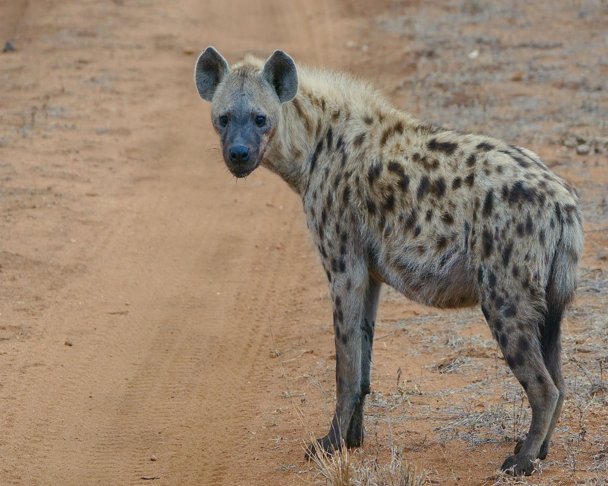 spotted hyena final