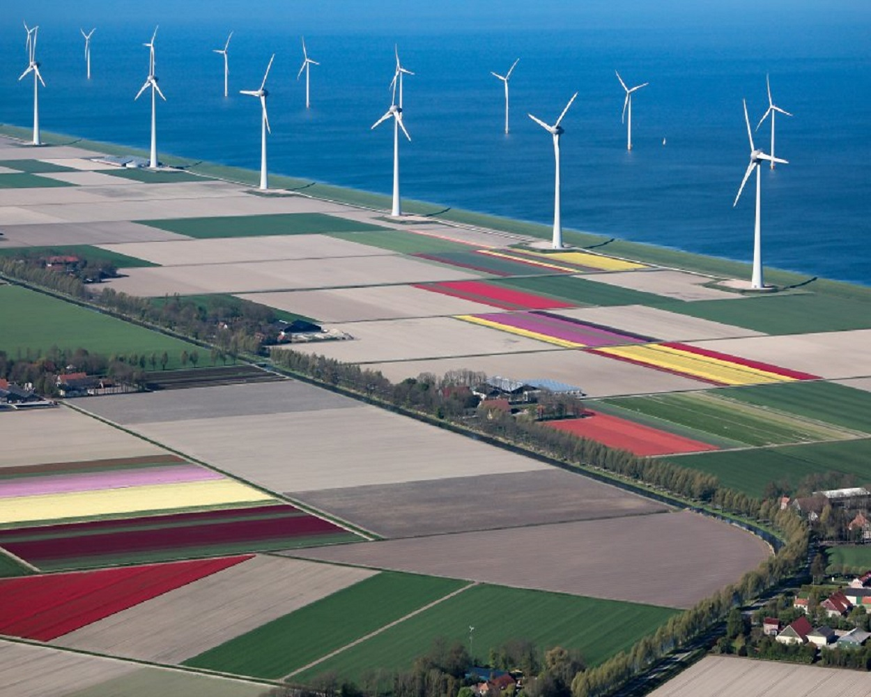 Tulip farming in Flevoland